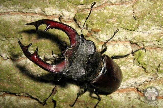 Szarvasbogár - Lucanus cervus (Photo: Sihelnik József)