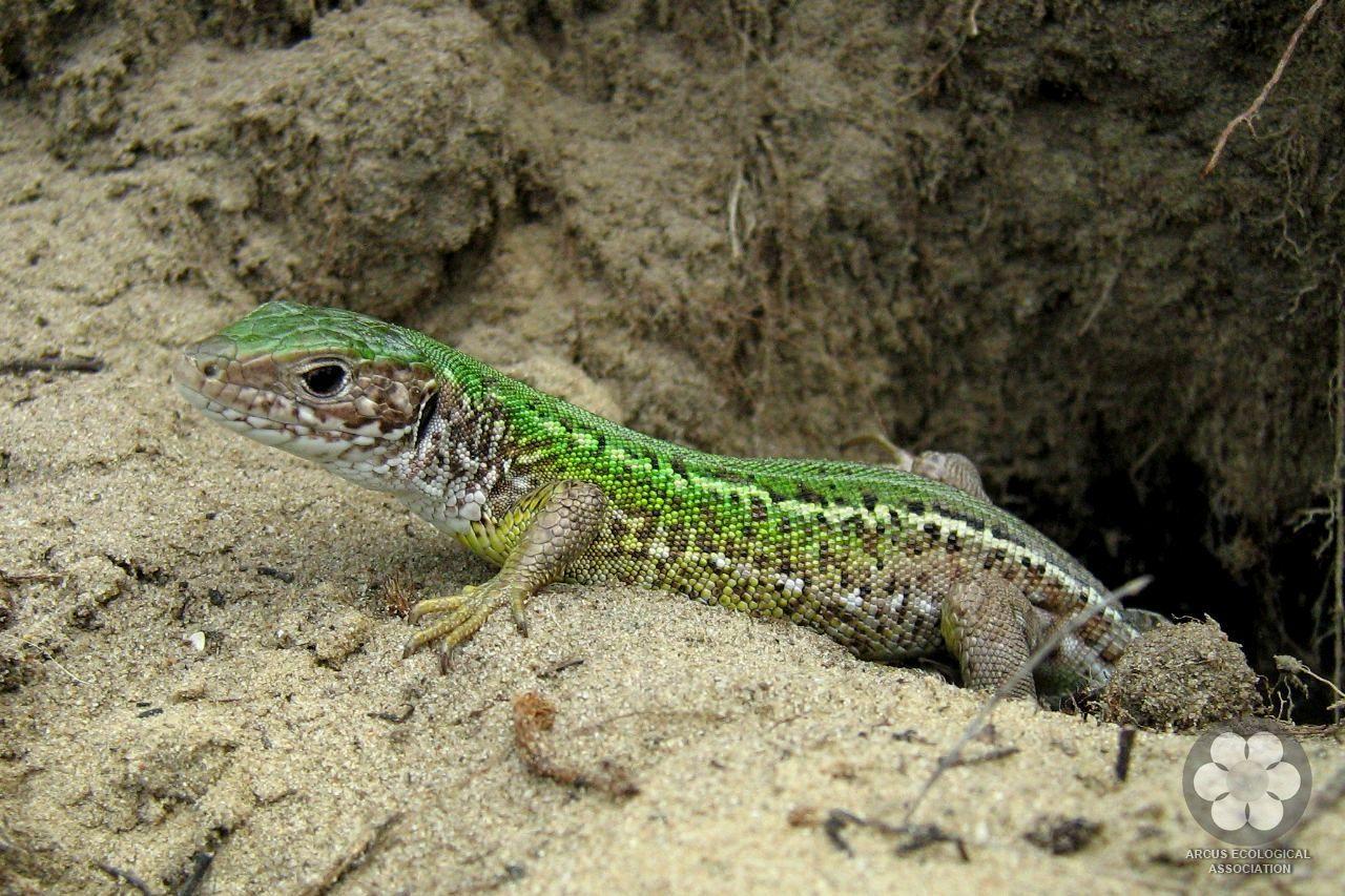 Zöld gyík - Lacerta viridis (Photo: Sihelnik József)