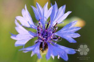 Kék búzavirág (Photo: Sihelnik József)