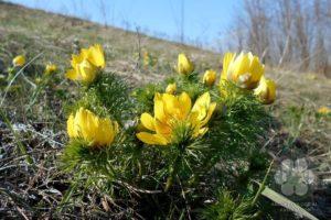 Tavaszi hérics (Photo: Sihelnik József)