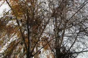 Telelő erdei fülesbaglyok (Photo: Sihelnik József)