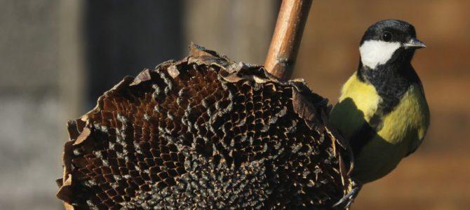 Suncokret za zimsko hranjenje ptica