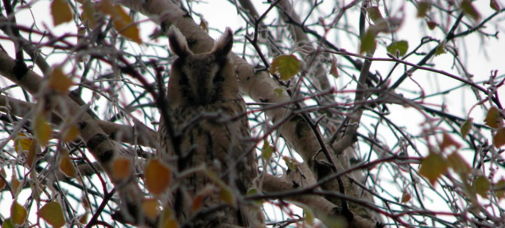 Posmatranje sova