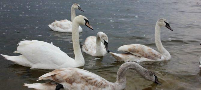 Nemojmo hraniti labudove i druge vodene ptice!