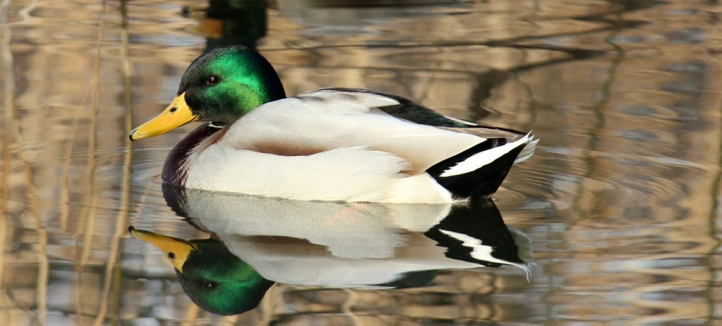 Međunarodni popis vodenih ptica (IWC) 2018