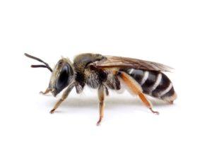Andrena ovatula